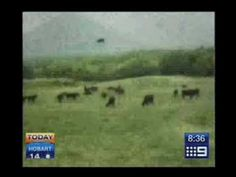 Cow Getting Abducted by Aliens - 100% Real Footage [9 NEWS] (Full Vid)
