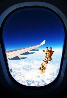 Картинка жираф в окне самолета я не договорила