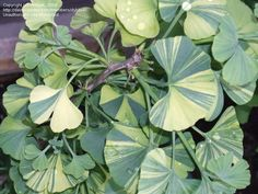 Full size picture of Dwarf Variegated Maidenhair Tree, Miniature Variegated Maidenhair Tree 'Majestic Butterfly' (<i>Ginkgo biloba</i>)