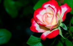 A Delicate Rose Wallpapers | HD Wallpapers
