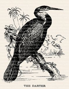 Darter Bird Illustration - Vintage Water Bird Clip Art Image – Digital Stamp - Printable Transfer Graphic – instant download clipart - CU OK