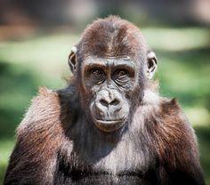 Wonderful portrait of Monroe the 2-year-old gorilla by Mark Amancio.