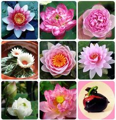 Cheap lily plants, Buy Quality aquatic plants directly from China water lily plant Suppliers: Flower Seeds Bowl Lotus Flower Hydroponic Aquatic Plants Lotus Seeds Perennial Water Lily Plant for Mini Garden Hydroponic Farming, Hydroponic Growing, Diy Hydroponics, Hanging Flowers, Hanging Plants, Hydrangea Flower, Lotus Flower, Blooming Plants, Ornamental Plants