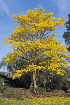 Ipê de Flores amarelas