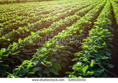 Soybean Stock Photos, Royalty-Free Images & Vectors - Shutterstock