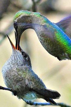 Hummingbird feeding her baby.