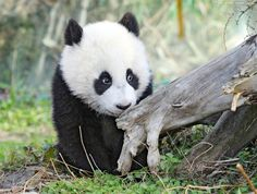 baby panda! <3