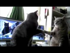 Cats Playing Patty |cake, what they were saying... - http://spoteam.com/videos/cats-playing-patty-cake-what-they-were-saying