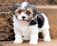 Shichon (Teddy Bear) Puppies For Sale Really Cute Puppies, Cute Baby Dogs, Cute Little Puppies, Small Puppies, Cute Dogs And Puppies, Baby Puppies, Small Puppy Breeds, Mixed Breed Puppies, Toy Dog Breeds