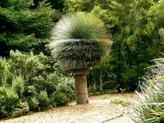 Australian Grass Tree - I need something else in there to provide context, how big is this thing? Soo cool is that a real palm tree? Agaves, Trees And Shrubs, Trees To Plant, Bonsai, Australian Plants, Unique Trees, Trees Beautiful, Nature Tree, Tree Forest