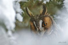 Long-eared Owl by Milko Marchetti - Photo 143352717 - 500px