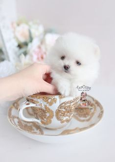 Tiny Teacup Pomeranian puppies available in our store.Your Micro Teacup Pomeranian puppy is conveniently small and cute. Find your tiny Pomeranian ur boutique. Micro Teacup Pomeranian, Pomeranian For Sale, White Pomeranian Puppies, Teacup Puppies For Sale, Most Beautiful Dog Breeds, Tea Cup Poodle, Poodle Grooming, Yorkshire Terrier Dog, Dogs Golden Retriever