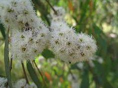 Eucalyptus globulus and radiata Oils, Some Uses Eucalyptus Oil, Australian Native Garden, Australian Plants, Php, Night Flowers, Black Oil, Native Plants, Garden Art, Gardens
