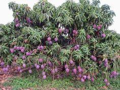 Paradise Kashmir: Have you ever seen Purple Mangoes Colorful Fruit, Exotic Fruit, Tropical Fruits, Fruit Plants, Fruit Garden, Fruit Trees, Mango Fruit, Mango Tree, Types Of Fruit