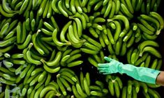 Banana disease boosted by climate change Global Food Security, How To Grow Bananas, Banana Art, Banana Plants, Climate Change Effects, Green Beans, Nice, Image, Nice France