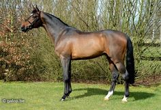 This BWP bay stallion 's name is Inar C.