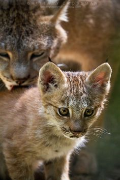 Lynx and Kitten by Brittany Crossman