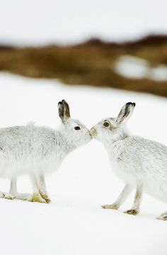 Mountain hares touching noses in Scotland