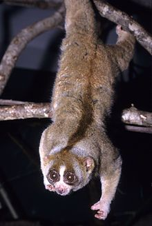 Slow lorise is the only primate that have a toxic bite, a rare trait among mammals. The toxin is produced by licking a gland in their arm pits, and the secretion mixes with its saliva to activate it. Their toxic bite is a deterrent to predators, and the toxin is also applied to the fur during grooming as a form of protection for their infants and against pests. They move slowly and deliberately, making little or no noise, and when threatened, they freeze and become docile.