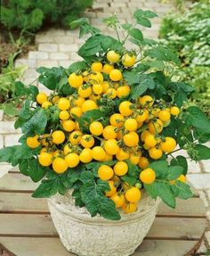 Tomato-seeds-potted-balcony-bonsai-vegetable-Seeds-100-PCs