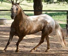 Gay Bars Silver, Appaloosa Stallion in Texas | Appaloosa Horses for Sale