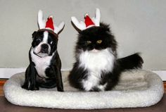 40 Eye-catching Photograph of Dogs at Christmas