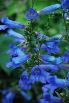 Penstemon 'Blue Buckle' definitely lives up to its name! Lean, well draining soil and full sun ensure longevity!
