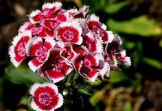 Les oeillets de poète offrent des fleurs aux couleurs variées, appréciées autant…