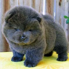In ancient China, where Chow Chow puppies originated, people were just as preoccupied with the fullness of a Chow Chow's fluff. Description from dogster.com. I searched for this on bing.com/images