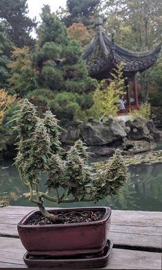 The art of bonsai. The art of bonsai. Weed Plants, Bonsai Plants, Bonsai Garden, Bonsai Trees, Planta Cannabis, Cannabis Plant, Ganja, Bonsai For Beginners, Magic Garden