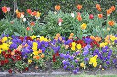 www.thegoodgarden.com - Orange tulips on the terrace at Dumbarton Oaks