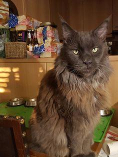 Maine Coon, Cats, Animals, Gatos, Animales, Animaux, Animal, Cat, Animais