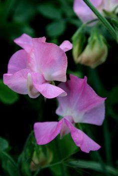 Little Pink Sweetpeas