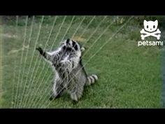 This Raccoon Plays the Sprinkler Harp