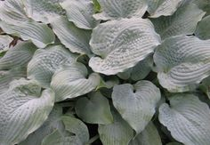 'Her Eyes Were Blue' Hosta