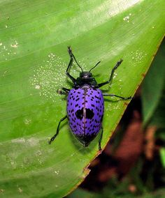 Pleasing Fungus Beetle - Erotylidae