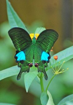 This butterfly is all set for St Patrick's Day!