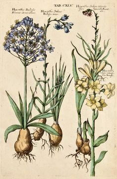 Michael Valentini - Viridarium Reformatum, seu Regnum Vegetabile: Krauter Buch (Newly Revised Garden of the Plant Kingdom: Herb Book), 1719 - Tab. CXLV: Hyacinthus Bulbosus Pervanus Carnei Coloris, Hyacinthus Indicus Bulbosus minor, Hyacinthus Indicus tuberosus flore hyacinthi orientalis, Hyacinth Indicus tuberosus flore Narcissus.
