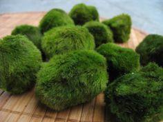 Japanese Water, Cute Japanese, Marimo Moss Ball, Planted Aquarium, Water Plants, Green Plants, Bonsai, Balls, Carpet