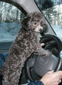If Mom wont drive me then Ill drive myself to the Poodle Park!