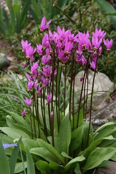 Shooting Star: The Giroselle of Virginia (Dodecatheon meadia or Dodecatheon pauciflorum) is a hardy perennial plant whose flower is renowned for its beauty. This plant reaches 40 cm high and 25 cm in diameter. Its toothed, 10-25 cm long oval leaves are pale green in the medium.  Flowering from March to may, umbels consisting of approximately 15 flowers pink-magenta, 1 to 2 cm long, on vigorous stems. Origin: Southwest USA.