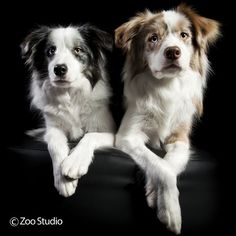 Stunning Siblings Risk and Spell : Zoo Studio – Pet Photography Brisbane