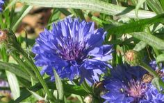 Seeds to Winter-Sow: Bachelor's Button (Centaurea cyanus)