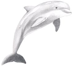 How to Draw a Dolphin ~ Draw Central