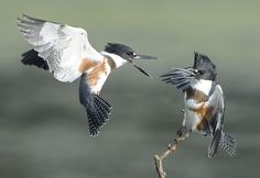 belted kingfishers fighting for a perch (Explored)   Flickr - Photo Sharing!