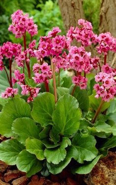 "Bergenia | Full sun to part shade ▪ (H) 12-15"" (W) 12"" ▪ Bloom: early-late spring ▪ Zone 3-9"