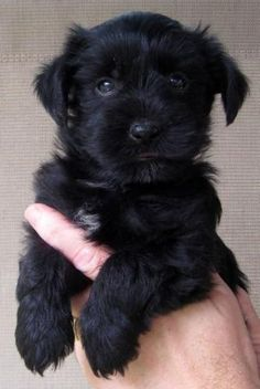 This black yorkie poo is adorable! Yorkie Poo Puppies, Dogs And Puppies, Doggies, Black Yorkie Poo, I Love Dogs, Cute Dogs, Baby Animals, Cute Animals, Yorshire Terrier
