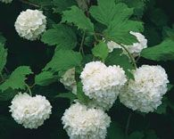 Viburnum. (Zone 3-9) Among the most popular of ornamental shrubs and small trees, the viburnum is sought after for three reasons – it's beautiful, it's versatile, and it's easy to grow. Some varieties are green year round. It is considered by some, to be the world's most beautiful flowering shrub