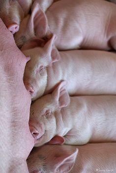 OMG! Love little oinkers.