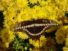 Chrysanthesums-Giant Swallowtail Butterfly